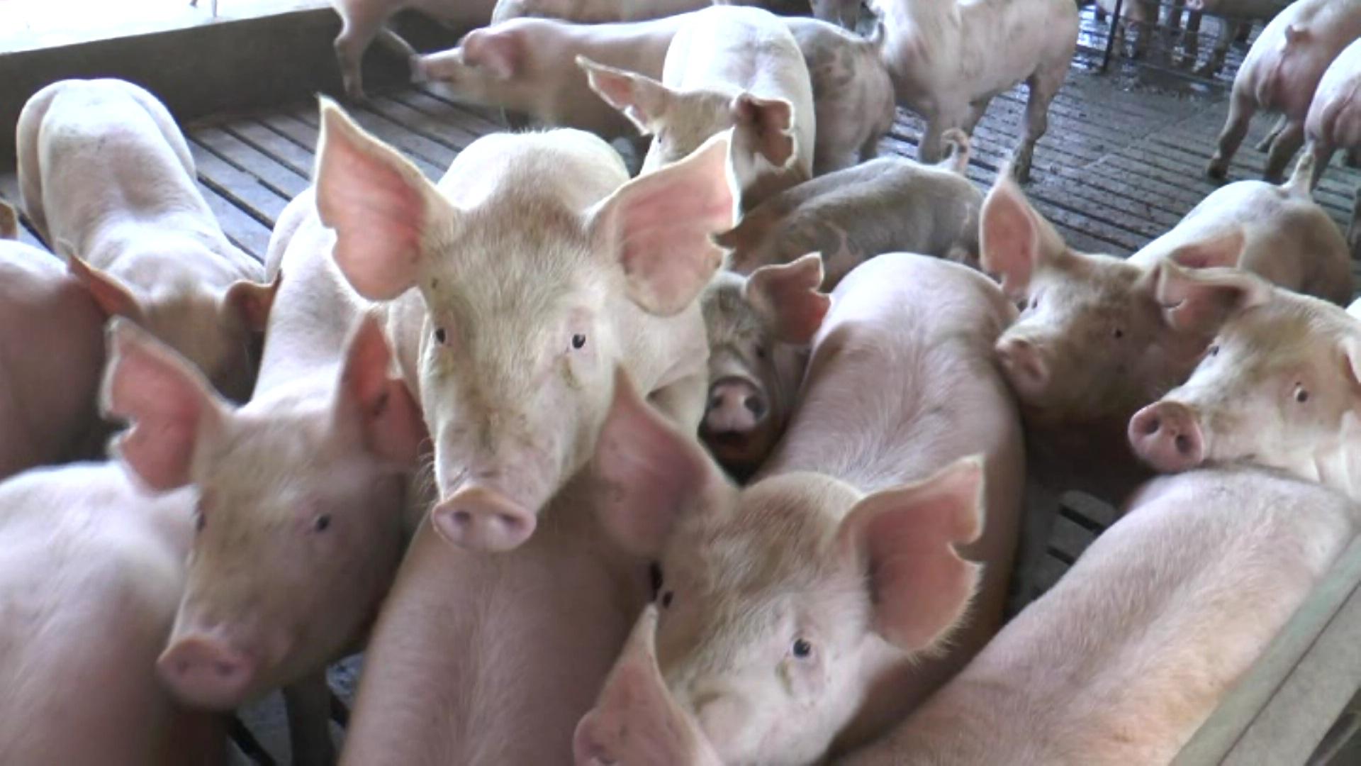Resultado de imagen para productores porcinos  de mendoza